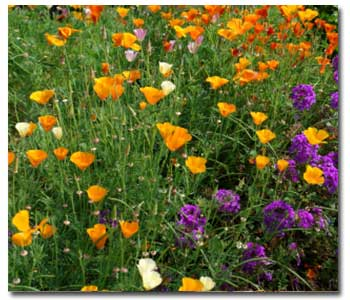 california-wildflowers