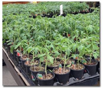 choosing-tomatoes