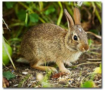 controlling-rabbits