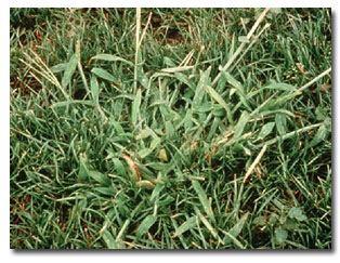 crabgrass (1)