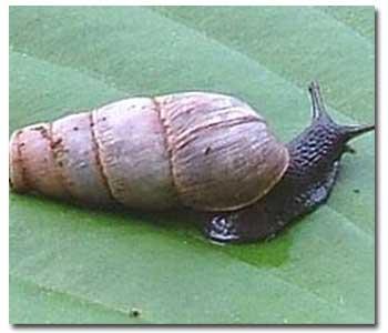 decollate-snail