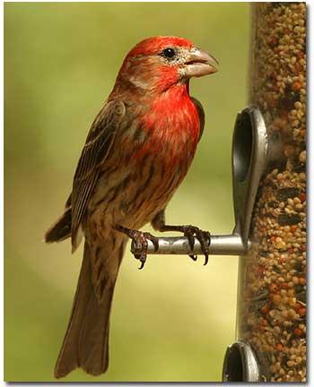 finch-feeder