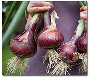 harvest-onions2