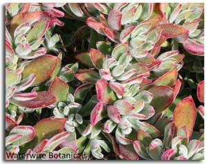 plush-plant