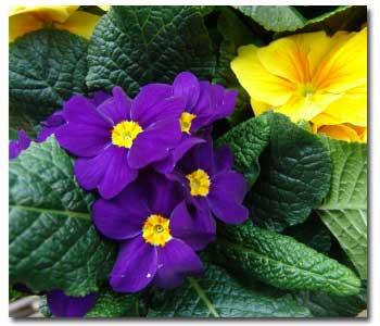 primrose-annual