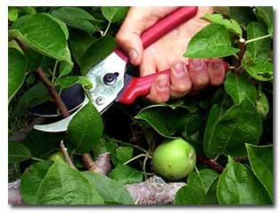 pruning-deciduous