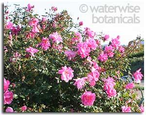 rose-carefree-beauty