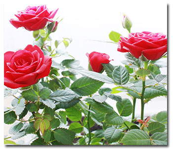 spring-rose-care