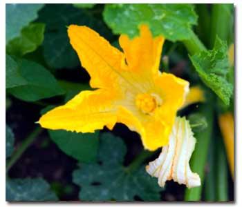 summer-squash-flower