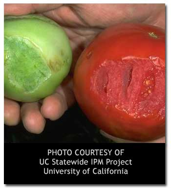 tomato-hornworm3
